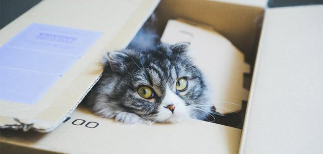 ダンボールの中から顔を出す猫