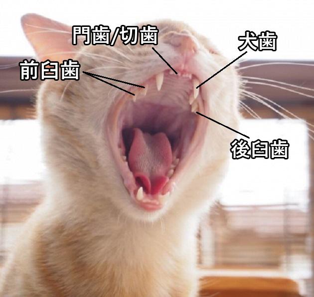 猫の歯の画像