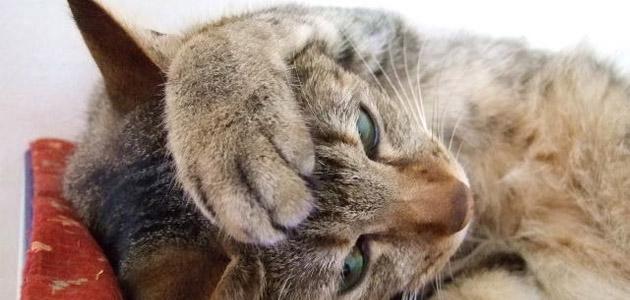 猫のフケの画像